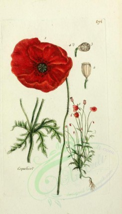 poppies_flowers-00056 - 285 - coquelicot (Fr) [1650x2877]
