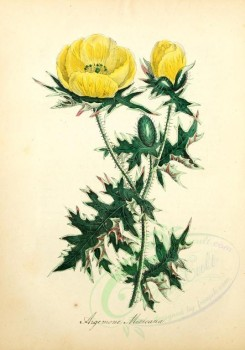 poppies_flowers-00059 - 288 - argemone mexicana [1889x2698]