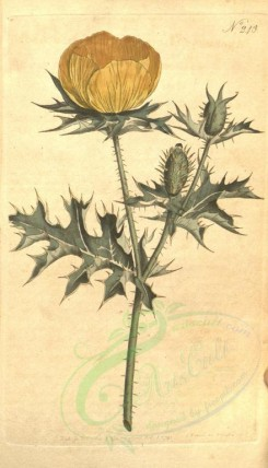 poppies_flowers-00071 - bm-7-8 - argemone mexicana, Mexican Argemone or Prickly Poppy [1859x3240]