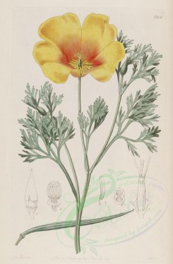 poppies_flowers-00074 - br-14 - eschscholtzia californica, Mr Menzies' Eschscholtzia [2558x3898]