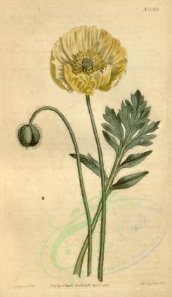 poppies_flowers-00075 - cbm-39 - papaver nudicaule, Yellow-flowered naked-stalked Poppy [1861x3204]