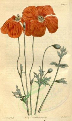 poppies_flowers-00076 - cbm-40 - papaver caucasicum, Caucasean Poppy [1896x3175]