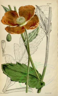 poppies_flowers-00086 - cbm-79 - papaver pilosum, Large Hairy Poppy [2164x3557]