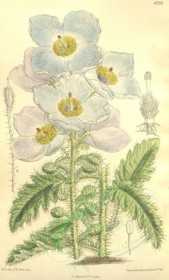 poppies_flowers-00101 - cbm-134 - meconopsis sinuata latifolia [2113x3503]