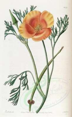 poppies_flowers-00108 - ebr-20 - eschscholtiza crocea, Saffron-coloured Eschscholtzia [2702x4398]