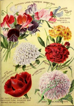 poppies_flowers-00116 - 090-Sweet Pea, Carnation, Candytuft, Poppy, Aster
