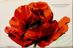 poppies_flowers-00165 - 040-Oriental Poppy, papaver orientale
