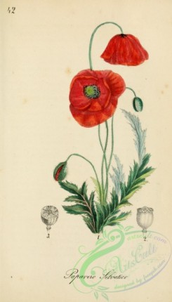 poppies_flowers-00233 - papaver rheas