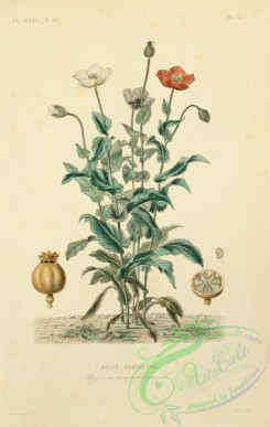 poppies_flowers-00245 - papaver somniferum