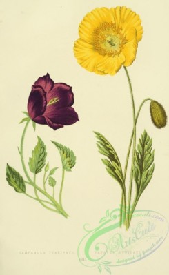 poppies_flowers-00250 - campanula turbinata, papaver nudicaule