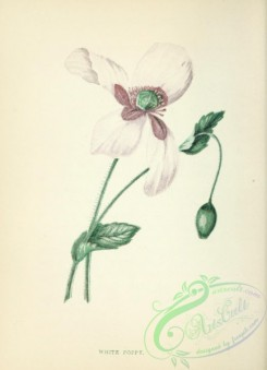 poppies_flowers-00252 - White Poppy, papaver somniferum