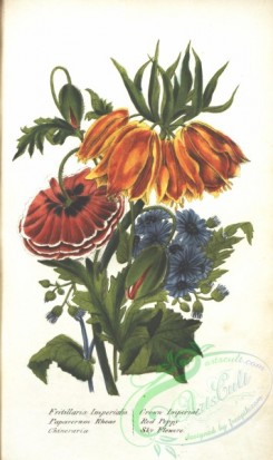 poppies_flowers-00286 - Crown Imperial, fritillaria imperialis, Red Poppy, papaverum rheas, Sky Flowers, chineraria