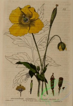 poppies_flowers-00293 - Welsh Poppy, meconopsis cambrica
