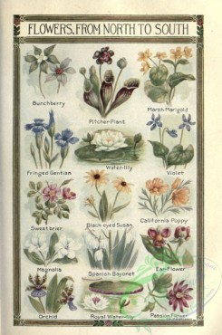 poppies_flowers-00306 - Bunchberry, Pitcher-Plant, Marsh Marigold, Fringed Gentian, Water-Lily, Violet, Sweetbrier, Black-eyed Susan, Californian Poppy, Magnilia, Spanish Bayonet, Ear-Flower, Orchid, Royal Water-Lily, Passio Flower