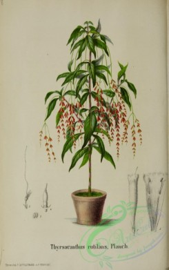 potted_plants-00037 - thyrsacanthus rutilans, 2
