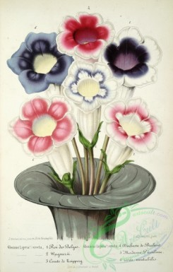 potted_plants-00051 - gloxinia erecta