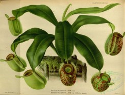potted_plants-00058 - nepenthes ampullaria