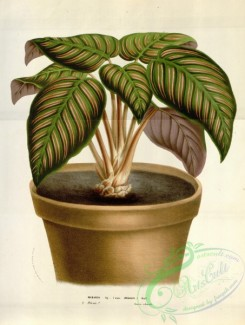 potted_plants-00065 - maranta regalis