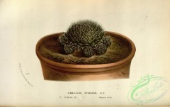 potted_plants-00070 - umbilicus spinosus