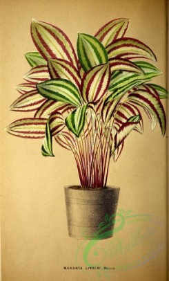 potted_plants-00078 - maranta lindeni