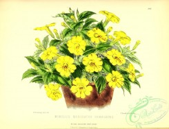 potted_plants-00085 - mimulus moschatus harrisonii