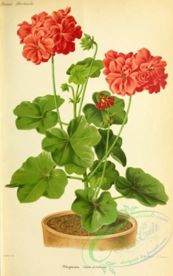 potted_plants-00100 - Pelargonium