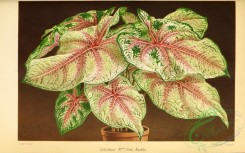 potted_plants-00102 - caladium