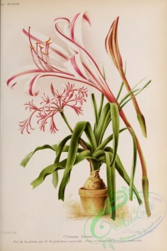potted_plants-00114 - 005-crinum vassei