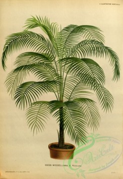 potted_plants-00138 - cocos weddelliana