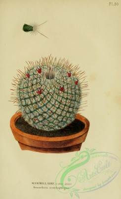 potted_plants-00152 - mammillaria acanthophlegma