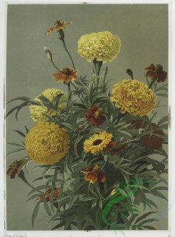 prang_cards_botanicals-00020 - 0353-Prints depicting marigolds and zinnias 105227