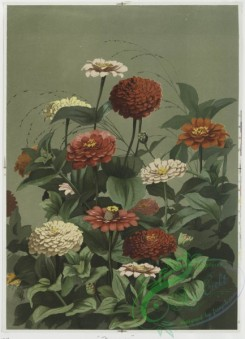 prang_cards_botanicals-00021 - 0353-Prints depicting marigolds and zinnias 105228