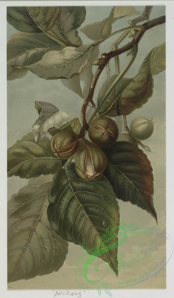 prang_cards_botanicals-00039 - 0496-Hickory, Norway Spruce, Chestnut, Red Cedar, and Pitch Pine 106248