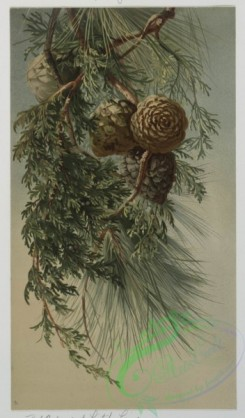prang_cards_botanicals-00042 - 0496-Hickory, Norway Spruce, Chestnut, Red Cedar, and Pitch Pine 106251