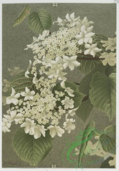prang_cards_botanicals-00057 - 0518-Prints of flowers entitled 'Elder,' 'Dogwood,' 'Snowflakes' and 'Cowslip.' 106383