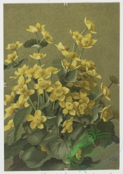 prang_cards_botanicals-00060 - 0518-Prints of flowers entitled 'Elder,' 'Dogwood,' 'Snowflakes' and 'Cowslip.' 106386