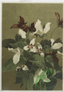 prang_cards_botanicals-00069 - 0552-Prints of flowers entitled 'Magnolia,' 'Spiraea,' 'Trillium' and 'Thistle and Grasses.' 106605