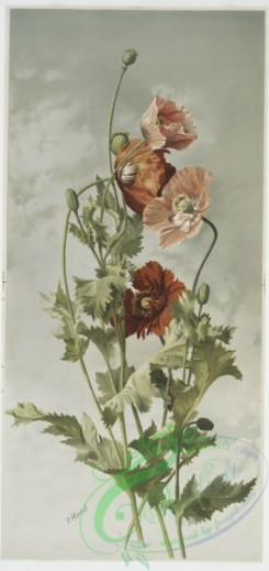 prang_cards_botanicals-00092 - 0619-Poppies 2 106991