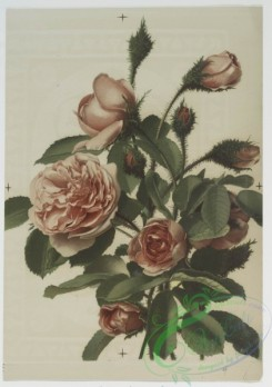 prang_cards_botanicals-00096 - 0621-Pink Moss Roses, decorative patterns, Christmas cards depicting young girl with holly 107001