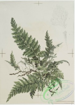 prang_cards_botanicals-00113 - 0687-Prints depicting drawings and sketches of plants, flowers, and insects 107273