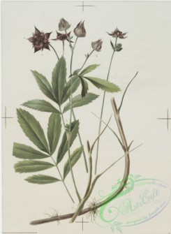 prang_cards_botanicals-00114 - 0687-Prints depicting drawings and sketches of plants, flowers, and insects 107274