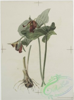 prang_cards_botanicals-00115 - 0687-Prints depicting drawings and sketches of plants, flowers, and insects 107275