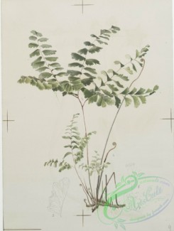 prang_cards_botanicals-00116 - 0687-Prints depicting drawings and sketches of plants, flowers, and insects 107276
