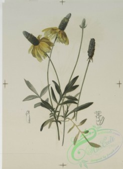prang_cards_botanicals-00118 - 0688-Prints depicting drawings and sketches of plants, flowers, and insects 107278