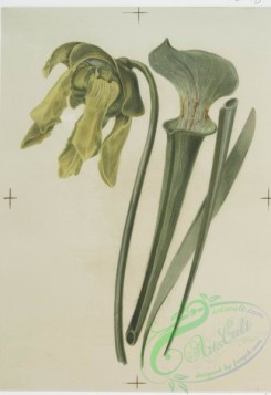 prang_cards_botanicals-00123 - 0690-Prints depicting drawings and sketches of plants and flowers 107293