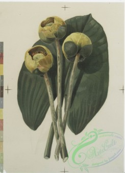prang_cards_botanicals-00126 - 0690-Prints depicting drawings and sketches of plants and flowers 107296