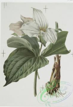 prang_cards_botanicals-00128 - 0692-Prints depicting drawings and sketches of plants and flowers 107301