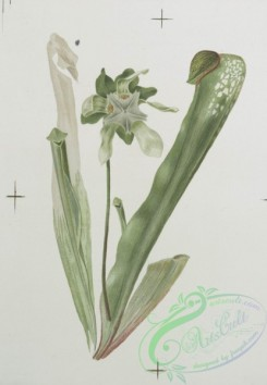 prang_cards_botanicals-00130 - 0692-Prints depicting drawings and sketches of plants and flowers 107303