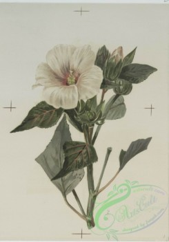 prang_cards_botanicals-00132 - 0693-Prints depicting drawings and prints of plants and flowers 107305