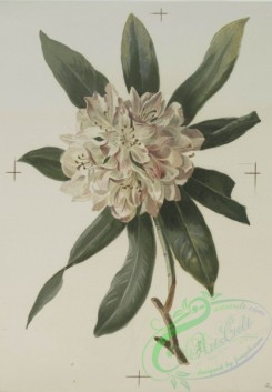 prang_cards_botanicals-00133 - 0693-Prints depicting drawings and prints of plants and flowers 107306